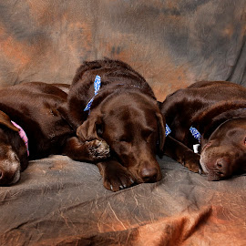 worn out by Helen Bagley - Animals - Dogs Portraits ( dogs, chocolate labs, family, brown, portrait )