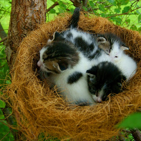 They weren't born, they were hatched! by Sondra Sarra - Animals - Cats Portraits ( babies, cat, tree, black. white, green, nest, three, branch, kittens, baby, hatched, leaves )