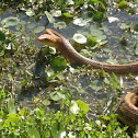 Yellow Rat Snake (eastern rat snake)