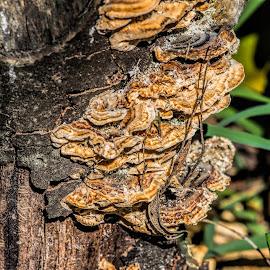 fungi on tree stump by Vibeke Friis - Nature Up Close Mushrooms & Fungi ( fungi, treestump )