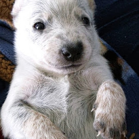 Muddy Paws by Cynthia Potter Nichols - Animals - Dogs Puppies ( dogs, pets, blue heelers, acd's, muddy paws, australian cattle dog puppies,  )