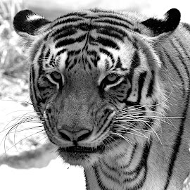 The Look by Vijayanand K - Animals Lions, Tigers & Big Cats ( big cat, wild, tiger, bengal tiger, animal,  )