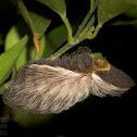 Flannel Moth Caterpillar
