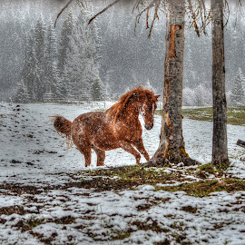 A New Winter by Skye Ryan-Evans - Animals Horses ( horse ranch, horse and snow, spirited horse, horse play, arabian-pony, winter horse, playful horse )