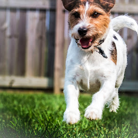 Scooter Running by Shawn Klawitter - Animals - Dogs Running ( jack russell, pets, outdoor, run, dog )