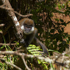 Bale Mountains Vervet