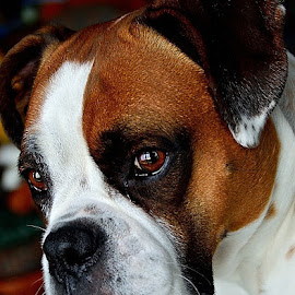 by Anna Birch - Animals - Dogs Portraits ( #GARYFONGPETS, #SHOWUSYOURPETS )