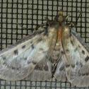 Moth - no common name