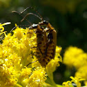 Goldenrod Soldier Beetles- mating