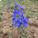 Two-Lobe Larkspur