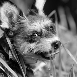 Worn Out by Lisa Wellott - Animals - Dogs Playing ( hidding, resting, yorkie, pet, terrier, dog )