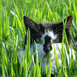 Tipper in the grass by Julie Granger - Animals - Cats Portraits