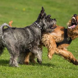 Murphy and Ralph by Tracey Dolan - Animals - Dogs Playing