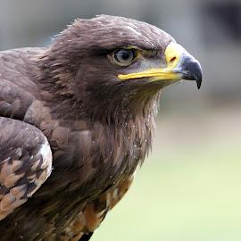 Eagle by Ralph Harvey - Animals Birds ( bird, eagle, beak, wildlife, ralph harvey )