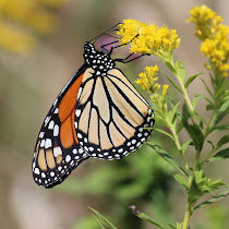 Find Monarch Butterflies and study their lifecycle