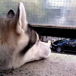 Observing... by Katarina Papic - Animals Other ( husky, watching, neighbours )