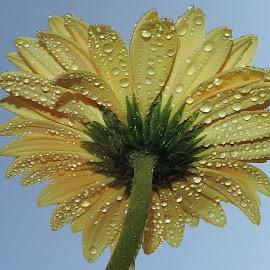 yellow gerber by LADOCKi Elvira - Flowers Single Flower ( nature, color, flowers, garden )