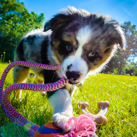 Playing in the Sun by Mark Rogers - Animals - Dogs Puppies ( playing, backlit, puppy, australian shepherd, sun, colorful, mood factory, vibrant, happiness, January, moods, emotions, inspiration )