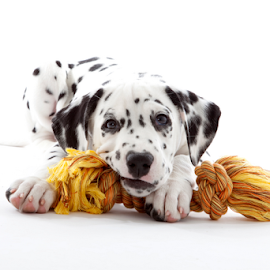 Ruby by Huub Keulers - Animals - Dogs Puppies ( bleach, rope, pup pie, white, yellow, dog, posing, portrait,  )