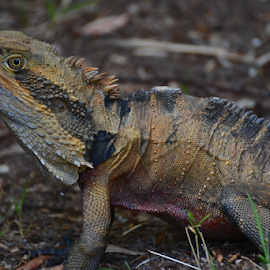 Here Comes The Deagon by Kamila Romanowska - Animals Reptiles ( scary, real, lizard, nature, australia, dragon, sydney )