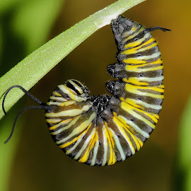 Monarch Caterpillar by Elyzabeth Krajewski - Animals Insects & Spiders ( caterpillars nature upclose maco insects larva,  )
