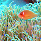 Pinks Anemone fish