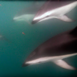 Swimming with the dolphins by Vibeke Friis - Animals Sea Creatures ( underwater, dolphins,  )
