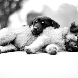 Family by Sandeep Nagar - Animals - Dogs Puppies ( puppies, black and white, sleeping, dog, dogpuppies )