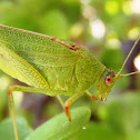 katydids crickets. Grillo
