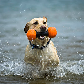 by Howie George - Animals - Dogs Playing ( playing, water, labrador retriever, dogs, yellow )