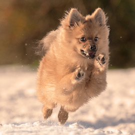 on the move  by Michael  M Sweeney - Animals - Dogs Running ( expression, natural light, colorful, nikkor, beauty, michael m sweeney, run, cute, eyes, nikond3, d3, gorgeous, snow, dogs playing, action, nikon, motion, light, animal, moving, speed, nikon d, fun, close up, hugo, flight, special, puppy, dog, natural, boy )