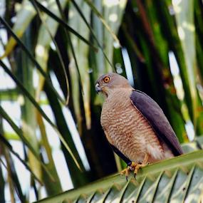 I am Strong....Shikra.. by Nithya Purushothaman - Animals Birds