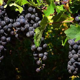 Grape Vinyard by Judy Dean - Food & Drink Fruits & Vegetables ( wine, fruit, grapes, grapevine, vinyard,  )