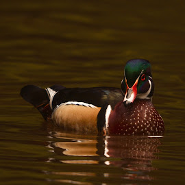 Mature Wood Duck Drake by Mark Ahrens - Animals Birds ( water, wing, drake, reflection, wood, america, green, woods, redwoods, fly, elegant, duck, gold, humboldt, pond, paddle )