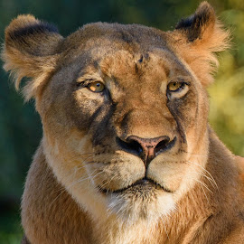 Lioness by William Sawtell - Animals Lions, Tigers & Big Cats ( lion, cat, lioness, wildlife, beauty )