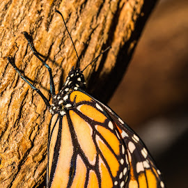 Monarch Butterfly by Kalyan Peri - Animals Insects & Spiders ( canon, butterfly, animals, zoo, nature, colorful, insects )