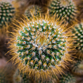 Cactus Love by Loke Inkid - Nature Up Close Other plants ( plant, nature, up, close, cactus,  )