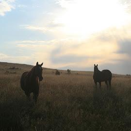 Montana Sunset by Rick Morris - Animals Horses ( sky, horses, montana, sunset, big )