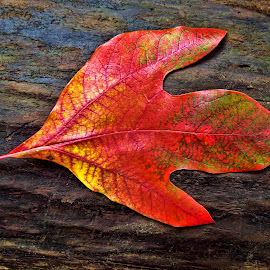 Lonely Leaf by Glen Bylsma - Nature Up Close Leaves & Grasses ( canon powershot sx50, color, fall, ontario, leaf, colorful, nature )