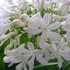 Agapanthus (white)