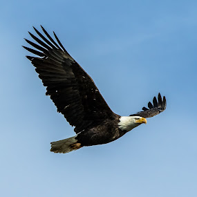 Soaring Bald Eagle by Billy Brooks - Animals Birds ( blue skies, bald eagle, in flight )
