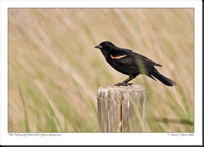 Red-wingedBlackbird-4876-1000