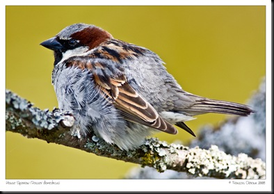HouseSparrow-5710-1000