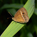 orange bush-brown butterfly