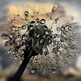 Happiness Is Illusive by Marija Jilek - Nature Up Close Other plants ( dawn, dandelion, nature, drops, plants, seeds, stem, happiness ilussive )