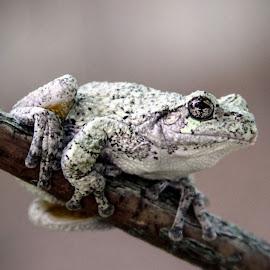 by Dale Pausinga - Animals Amphibians ( macro, stick, frog, green, amphibian )