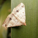 Dot-lined Angle Moth