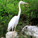 "Great ""White"" Heron"
