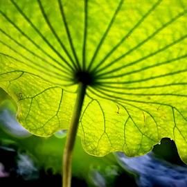Umbrella by Winkie Chau - Nature Up Close Leaves & Grasses ( lotus, nature, green, raindrops, leaf,  )