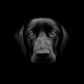 The Black Woof by Tom Egil Dørum - Animals - Dogs Portraits ( bronze, dark, labrador, dog, black, portrait, animal )